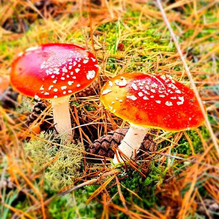 Pilze im Wald - Mushrooms - Fliegenpilze